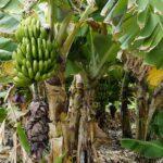 केरा खेती : दुःख कृषकको, नाफा बिचौलियाको